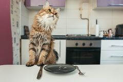 The cat at the table waiting for food. Cat breed Norwegian Forest. The cat looks away.  stock photos