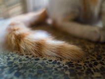 Cat Tail égarée d'or blanche Photo stock
