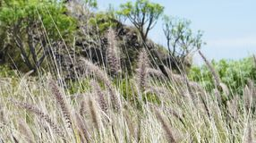 Cat tail grass of Masca Stock Image