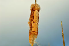 Cat Tail 1. A Photograph of an Autumn Cat tail waving into the wind Royalty Free Stock Images