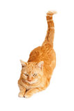 Cat With Tail Up arancio Fotografia Stock Libera da Diritti
