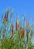 Cat tails stock photo
