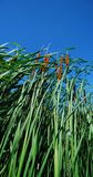 Cat Tails Stock Photography