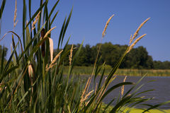 Cat tails against Green Moss Covered Pond Royalty Free Stock Photo