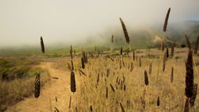 Cat tails along the trail in Big Sur stock footage