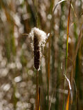 Cat tails and bokeh Stock Photography