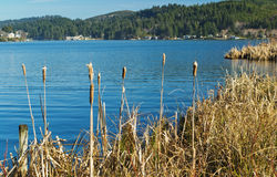 Cat Tails at Devils Lake Stock Image
