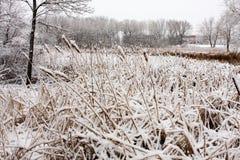Cat-Tails en el invierno Foto de archivo libre de regalías