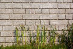 Cat Tails in front of brick retaining wall Royalty Free Stock Image