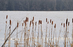 Cat tails an frozen field. Image of cat tails against a snowy field Royalty Free Stock Photography