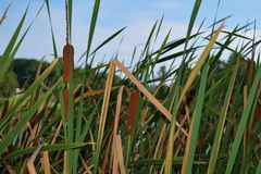 Cat Tails growing by a lake Stock Images