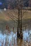 Cat tails and a hemlock tree royalty free stock photography