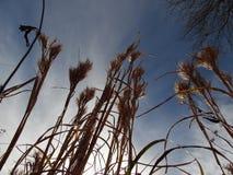Cat Tails nel cielo blu Fotografia Stock Libera da Diritti