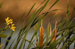 Cat Tails und Sonnenblumen Stockfotos