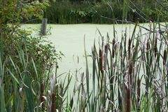 Cat tails in wetlands. Several fully developed cat tails border the water of a wetlands area stock photography