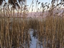 Cat tails in winter on beach. Cat tails in winter sunset Stock Photography