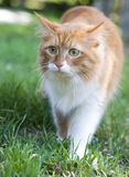 Cat take a walk on the grass. Close up Stock Photos