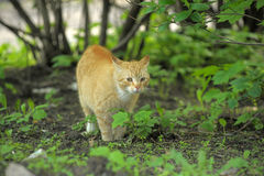 Cat take a walk on the grass. Close up Stock Photography