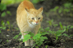 Cat take a walk on the grass. Close up Royalty Free Stock Images