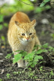 Cat take a walk on the grass. Close up Stock Image