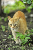 Cat take a walk on the grass Royalty Free Stock Images