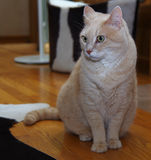 Cat. Taken with DSLR camera - cat looking at side Royalty Free Stock Photos