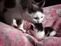 A Cat takes care of her baby Royalty Free Stock Images
