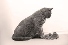 Cat takes care of her new borns, first day of life. British Shorthair mom cat takes care of her kittens, white background, isolated family portrait royalty free stock photos