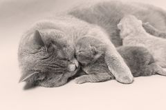 Cat takes care of kittens. British Shorthair mom cat taking care of kittens, photography studio background stock images