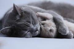 Cat takes care of kittens. British Shorthair mom cat hugs kitten stock images