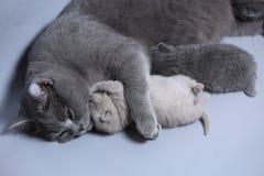 Cat takes care of kittens. British Shorthair mom cat hugs kitten royalty free stock photo