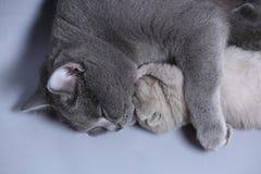 Cat takes care of kittens. British Shorthair mom cat hugs kitten stock photos