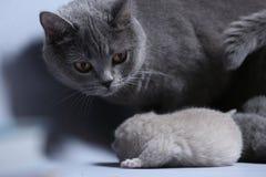 Cat takes care of kittens. British Shorthair mom cat hugs kitten stock photography