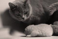 Cat takes care of kittens. British Shorthair mom cat taking care of kittens stock image