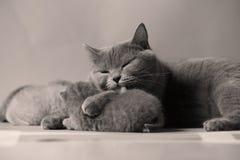 Cat takes care of kittens. British Shorthair mom cat taking care of kittens stock photo