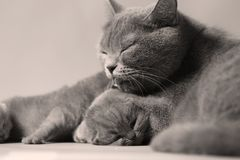 Cat takes care of kittens. British Shorthair mom cat taking care of kittens royalty free stock image