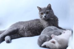 Cat takes care of kittens. British Shorthair mom cat taking care of kittens, photography studio background stock photo