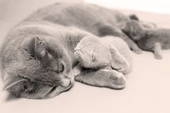 Cat takes care of kittens. British Shorthair mom cat taking care of kittens, photography studio background royalty free stock image