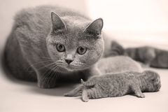 Cat takes care of kittens. British Shorthair mom cat taking care of kittens, photography studio background royalty free stock photography