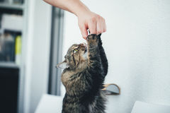 Cat takes a Pill Royalty Free Stock Images