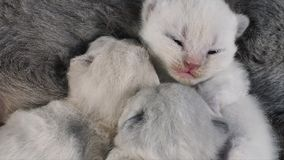 Cat taking care of her new born kittens, black background