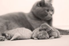 Cat taking care of her new borns, first day of life. British Shorthair mom cat takes care of her kittens, white background, family portrait stock photo