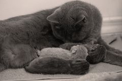 Cat taking care of her new borns, first day of life. British Shorthair mom cat takes care of her kittens, white background, isolated family portrait stock images