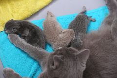 Cat taking care of her new borns, first day of life. British Shorthair mom cat takes care of her kittens royalty free stock image