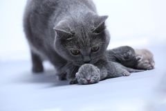 Cat taking care of her new borns, first day of life. British Shorthair mom cat takes care of her kittens, white background, isolated family portrait royalty free stock image