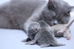 Cat taking care of her new borns, first day of life. British Shorthair mom cat takes care of her kittens, white background, isolated family portrait royalty free stock photos
