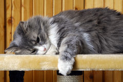 Cat taking a nap. Gray cat taking a nap and looking sleepy Stock Photography