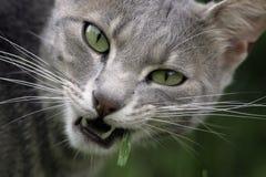 Cat tasting grass Royalty Free Stock Photos