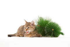 Cat tasting a New Year tree Royalty Free Stock Photography
