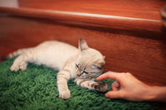 Cat teasted by human fingers Stock Photo